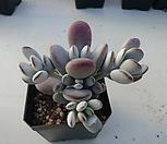 방울복랑256|Cotyledon orbiculata cv