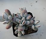 방울복랑258|Cotyledon orbiculata cv
