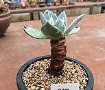 환엽블러쳐스737|Dudleya farinosa Bluff Lettuce