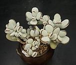 방울복랑(12.7)|Cotyledon orbiculata cv