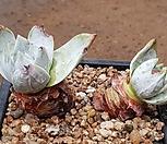 환엽블러프레쳐스 7112-4401|Dudleya farinosa Bluff Lettuce