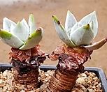 환엽블러프레쳐스 7112-4402|Dudleya farinosa Bluff Lettuce