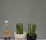 스투키1+1=2초특가/공기정화식물/공룡꽃식물원|Sansevieria Stuckyi
