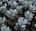 방울복랑[랜덤]|Cotyledon orbiculata cv
