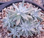화이트그리니목대군생|Dudleya White gnoma(White greenii / White sprite)