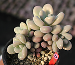 아메치스 적심 771211|Graptopetalum amethystinum
