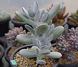 1094. 방울복랑|Cotyledon orbiculata cv