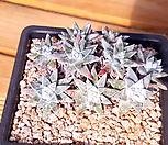 화이트그리니4 (10두분지중, 한몸묵은둥이) X121110|Dudleya White gnoma(White greenii / White sprite)