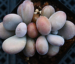 보톡스아메치스 50|Graptopetalum amethystinum