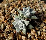 화이트그리니 2두 12-304|Dudleya White gnoma(White greenii / White sprite)