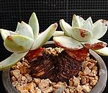 환엽블러프레쳐스 1211-16 Dudleya farinosa Bluff Lettuce