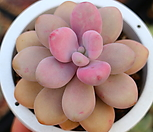 아메치스91|Graptopetalum amethystinum