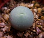 반질리 1211-2008 Conophytum vanzylii