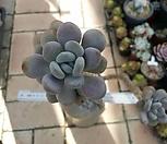 월미인[자연군생|Pachyphytum oviferum Tsukibijin