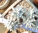 화이트그리니군생 12.12|Dudleya White gnoma(White greenii / White sprite)