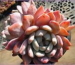 오렌지먼로(자연군생)1212|Echeveria Monroe(Orange)