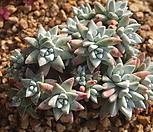 1126 묵은 화이트그리니(20두이상)|Dudleya White gnoma(White greenii / White sprite)