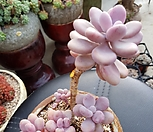 아메치스한몸_37|Graptopetalum amethystinum