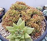 샤치철화(깨알)|Echeveria agavoides f.cristata Echeveria