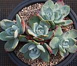 환엽 블러쳐스 (블러프레쳐스) 6두 자연군생!!|Dudleya farinosa Bluff Lettuce