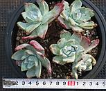 환엽 블러쳐스 (블러프레쳐스) 5두자연군생!!|Dudleya farinosa Bluff Lettuce