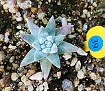화이트그리니12121|Dudleya White gnoma(White greenii / White sprite)