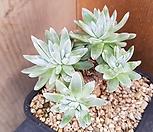 1107. 화이트그리니|Dudleya White gnoma(White greenii / White sprite)