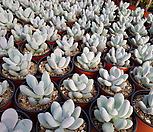 홍미인랜덤|Pachyphytum ovefeum cv. momobijin
