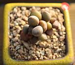 리틀스페로이드 121206|Echeveria minima hyb Roid