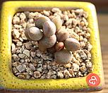 리틀스페로이드 121207|Echeveria minima hyb Roid