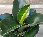 고무나무 (대표적인 공기정화식물) 음이온 팡팡|