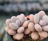 아메치스2두한몸자연군생-묵은둥이21|Graptopetalum amethystinum