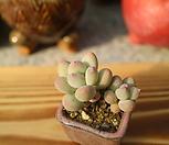 이미인자연군생-귀요미-|Pchyphytum oviferum mikadukibijin
