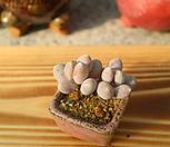 그리니치카울한몸자연군생-묵은둥이-귀요미|Pachyphytum glutinicaule