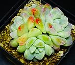 아이시그린3|Echeveria Ice green
