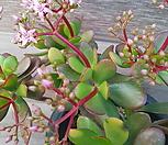 꽃망울이 가득한 꽃피는염자( 연한핑크색꽃이 피어요)|