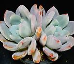 환엽후레뉴묵은둥이45|Pachyphtum cv Frevel