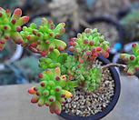 을려심철화(U150)|sedum pachyphyllum