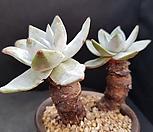 환엽블러프레쳐스1214-9 Dudleya farinosa Bluff Lettuce