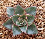 모노금 Echeveria Monocerotis
