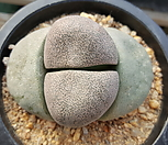 요옥(제옥)1164|Dintheranthus puberulus