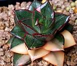 287.모노금 Echeveria Monocerotis
