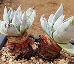 환엽블러프레쳐스 7112-5617 Dudleya farinosa Bluff Lettuce