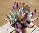 콜로라타브랜티 0.99 Echeveria Colorata fma Brandtii