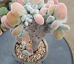 백금황성 Echeveria pulvinata
