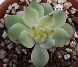 치와와금 Eeveria chihuahuaensis