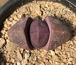 자제옥 24-193|Pleiospilos nelii Royal Flush