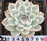 치와와금(복륜3) Eeveria chihuahuaensis