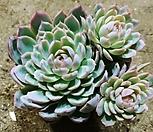 바이올렛퀸군생-32-자연|Echeveria Violet Queen
