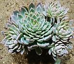 바이올렛퀸군생-73-자연|Echeveria Violet Queen